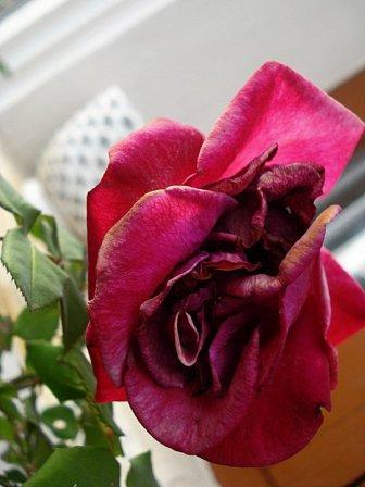 Roses Roses India
