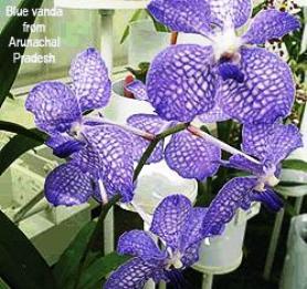 Orchid Arunachal Pradesh