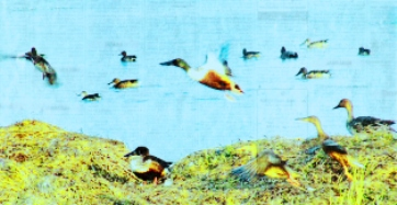 Wetland Birds of Pong Lake, Dharamsala