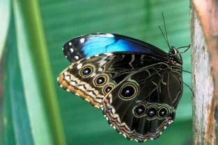 Meghalaya Butterfly