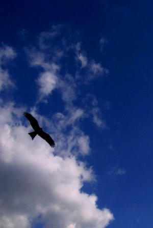 Himalayan Eagle, Dharamsala