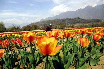 Garden Tulip India