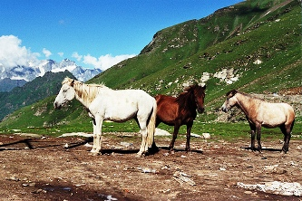 Horses of Himachal