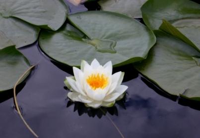 Lotus India