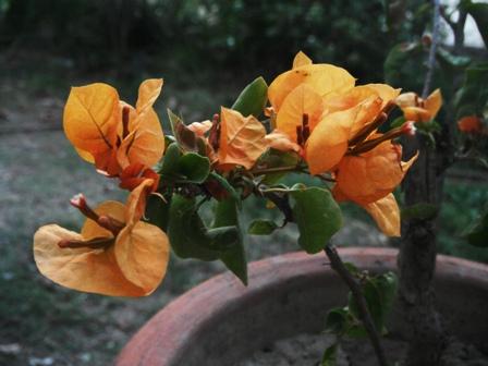 Flowers Dharamsala
