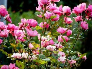Pink Summer Vidya Niwas