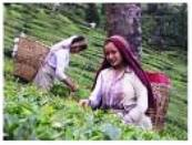 Tea Pickers of Darjeeling