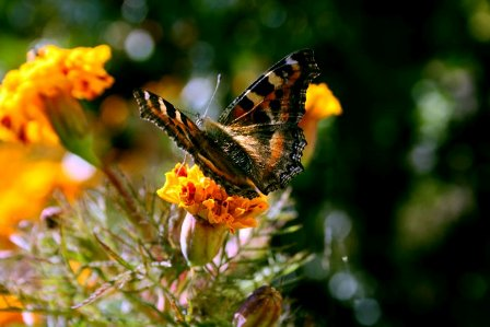 Merry May, Butterfly
