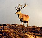 Antelope Deer Manipur