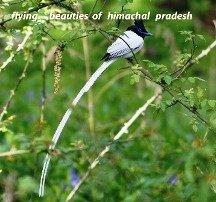 Himalayan Magpie
