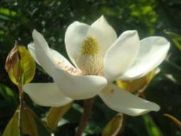 Indra Kamal Flora