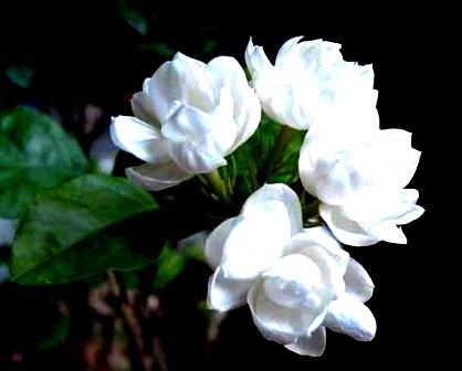 Jasmine India