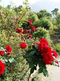 Dharamsala Roses